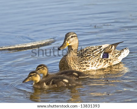 Mother duck and two little ducklings at the blue water - stock photo