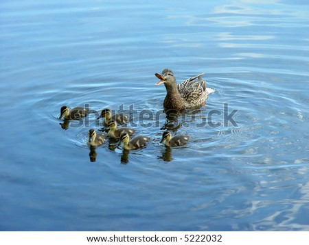 Mother duck with newborn duckling. - stock photo