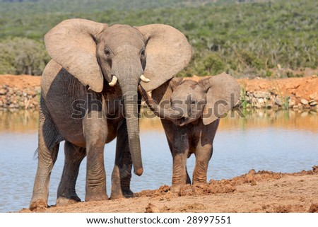 mother elephant showing her calf some affection - stock photo