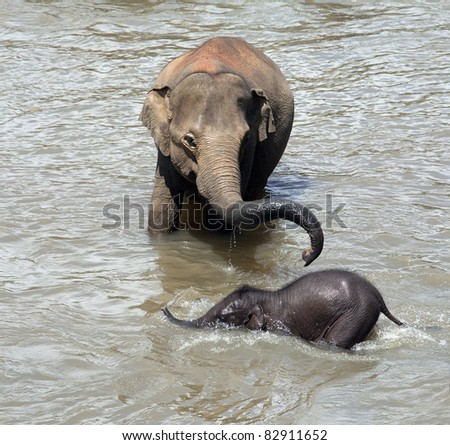 Mother elephant takes baby for a bath in the river. Pinnawela elephant orphanage, Sri Lanka - stock photo