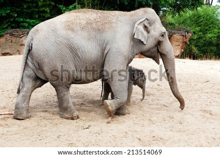 Mother elephant with her newborn baby elephant calf