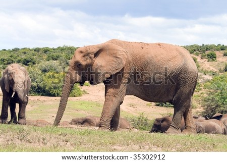Mother elephant with young juvenile at the Addo National Park