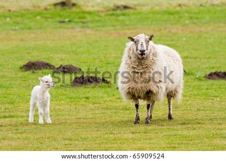 Mother Ewe Bleating With New Born Lamb Looking - stock photo