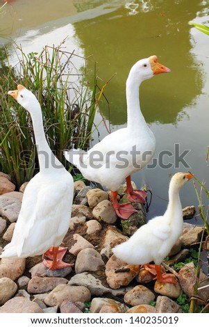 Mother father and baby swan - stock photo