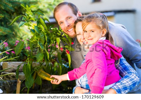 Mother, father and daughter in garden harvesting vegetables - stock photo