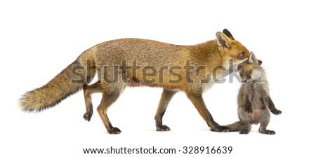 Mother fox carrying her cub (7 weeks old) in front of a white background - stock photo
