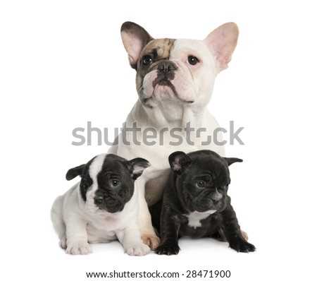 Mother French Bulldog and her puppies (1 year old and 8 weeks old) in front of a white background - stock photo