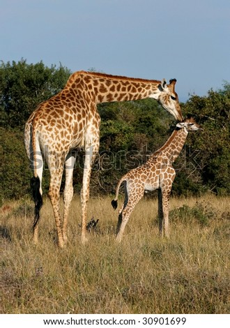 mother giraffe showing her young some love - stock photo