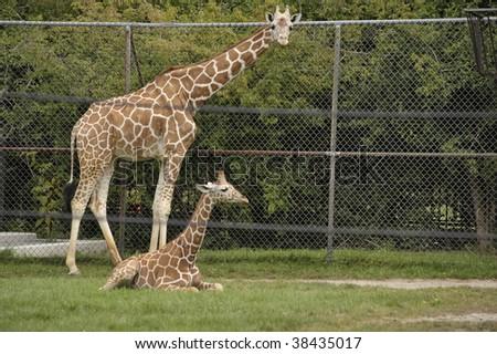 mother giraffe standing over baby giraffe - stock photo