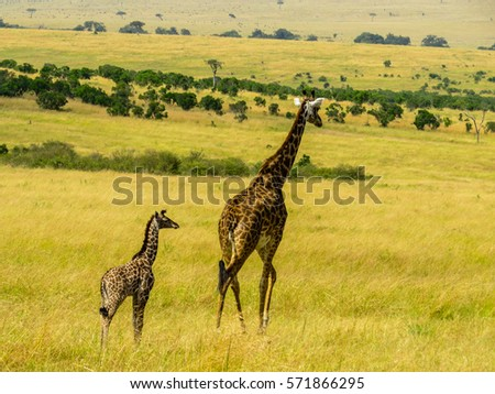 Mother giraffe her kid running on stock photo 571866265 for Giraffe childcare fees