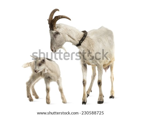 mother goat and her kid (8 weeks old) isolated on white - stock photo