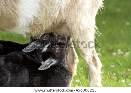 Mother goat feeding baby goats with milk