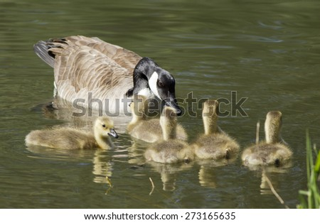 Mother goose and goslings in the water at the Post Falls Dam park in Idaho. - stock photo