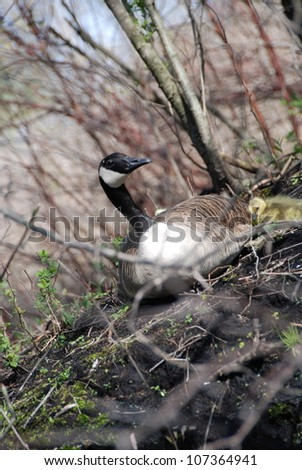Mother Goose with baby sitting on shoreline - stock photo