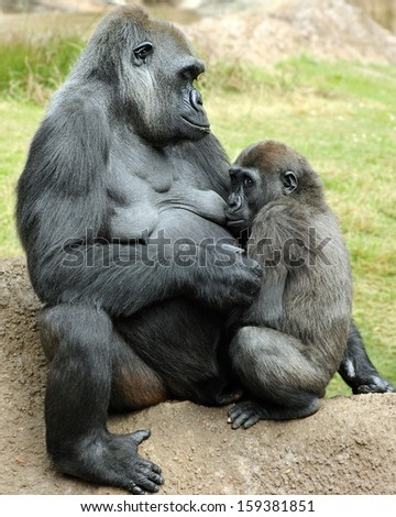 Mother gorilla nursing baby. - stock photo