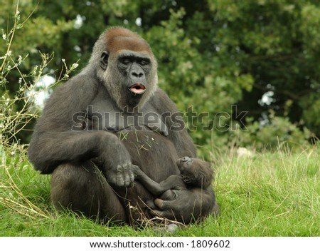 Mother-gorilla with newborn baby - stock photo