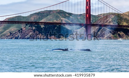Mother Gray Whale, eschrichtius robustus, a critically endangered species and baby swim and blow in San Francisco Bay an unusual occurrence