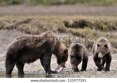 Mother Grizzly Bear with two cubs feeding on fish. - stock photo