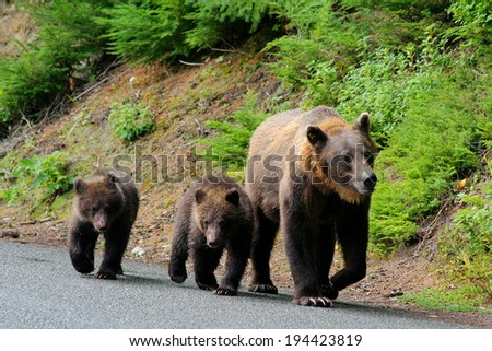Mother grizzly with 2 cubs wandering down the road in Alaska - stock photo