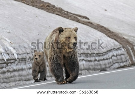 Mother Grizzly With Her Cub Crossing The Road - stock photo