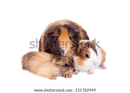Mother Guinea Pig and her two babies against white background - stock photo