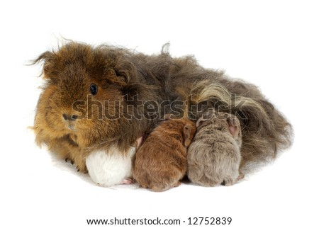 Mother guinea pig and three babies isolated on white - stock photo