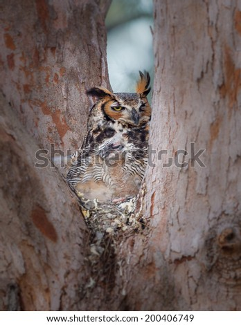 Mother hides her young in camouflage of her chest feathers - stock photo