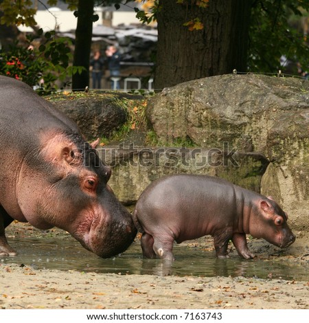 Mother hippo touching baby with her nose - stock photo
