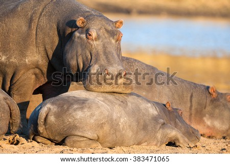 Mother hippo touching her baby on the warm sand next to river - stock photo