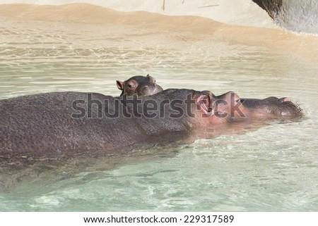 Mother Hippopotamus and her baby - stock photo