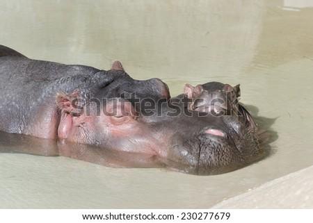 Mother Hippopotamus and newborn - stock photo