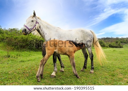 Mother horse gives milk for her little foal - stock photo