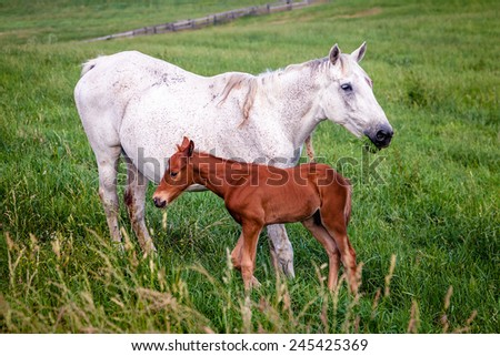 Mother horse with her colt on a farm in Central Kentucky - stock photo