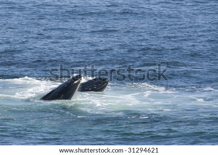 Mother Humpback Whale and Calf