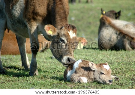 Mother Jersey cow licking newborn calf, West Coast, New Zealand - stock photo