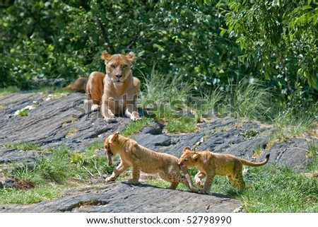 Mother lion watches her cubs at play
