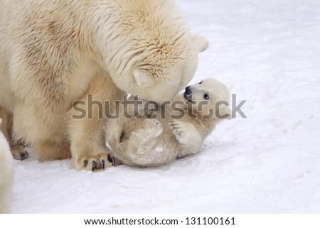 Mother love of polar bear - stock photo