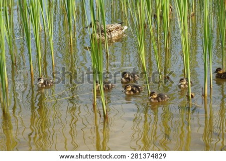 mother mallard with ducklings on water surface ( Anas platyrhynchos ) - stock photo