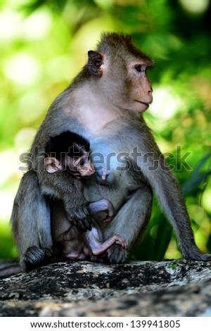 Mother monkey is breastfeeding - stock photo