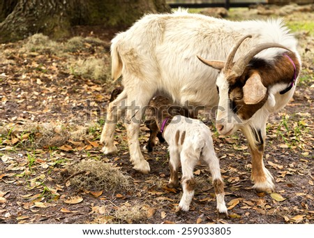 Mother nanny female goat looking at baby kid young newborn goat who is nursing drinking suckling milk outside on a farm or ranch - stock photo