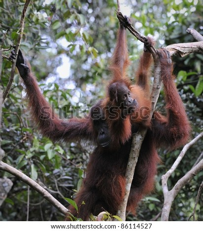 Mother Orangutan and Baby in the Wild Jungle Borneo. Pongo pygmaeus