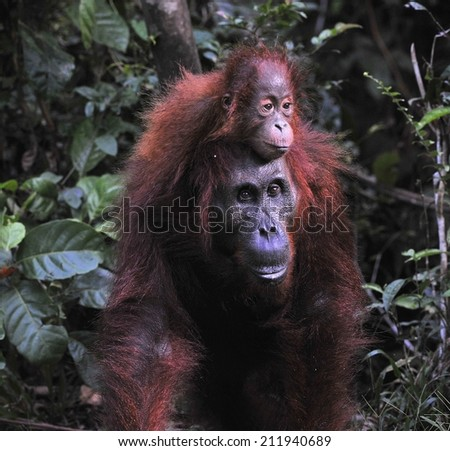 Mother orangutan and cub. Borneo - stock photo