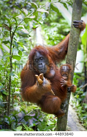Mother orangutan and her baby photographed in the jungle in Sabah, Borneo, Malaysia - stock photo
