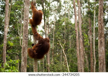 Mother orangutan and two baby hanging on the tree in the forest of Borneo Indonesia. - stock photo