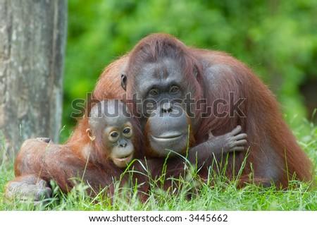 mother orangutan with her cute baby - stock photo