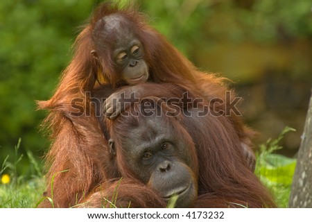 mother orangutan with her cute baby - stock photo