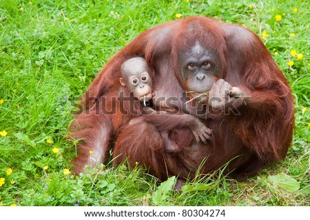 Mother orangutan with her cute baby in the grass