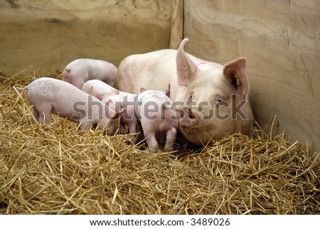 mother pig suckling her babies - stock photo