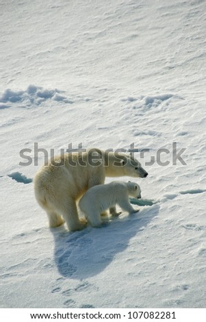 Mother Polar Bear and cub under the midnight sun - stock photo