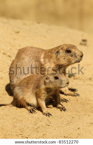 Mother prairie dog with her baby (focus on the little one)